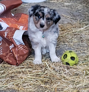 ADORABLE BLUE MERLE MINI AUSSIE LOOKING FOR FOREVER HOME!