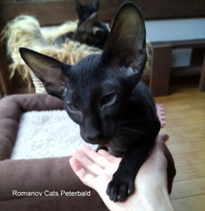 Sphynx Russe avec poil : Peterbald. Russian Sphynx with hair