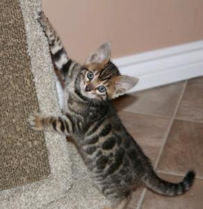 Smart & Playful Purebred Bengal Kittens