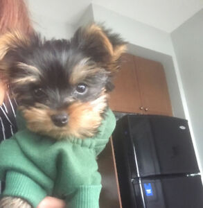 7 months old male teacup yorkie, $1350