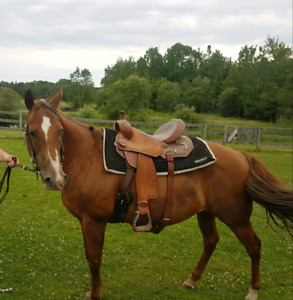 14 year old registered mare