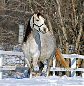 Arab mare for 1yr lease/part-board