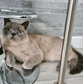 Pedigree British Short Hair Male Cat Kitten