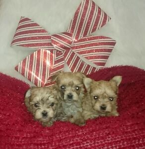 MALE MORKIE PUPPIES!!! READY FOR CHRISTMAS!!
