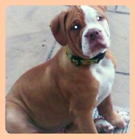 Red/White Male, Green eyed Olde English Bulldogge puppy for sale