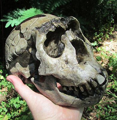 Homo Ergaster skull replica cast Bone Clones hominid ape fossil