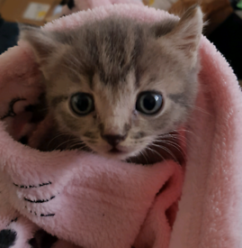 British Blue Cross kitten (boy)