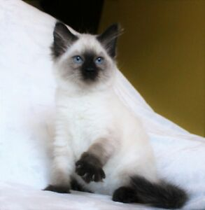 Female Ragdoll kittens are available for adoption,