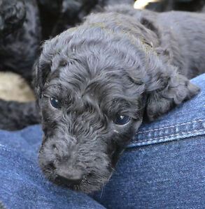 Lovely Female Standard Poodle Puppy