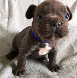 """Theodore '' French bulldog puppy purebred"
