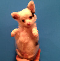 Tiny CHIHUAHUA PUPPIES,one female and one long coat male.