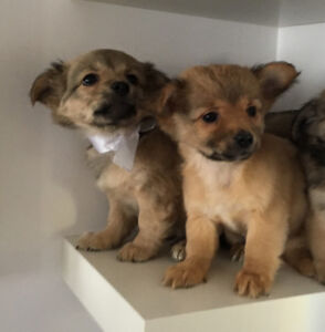 ❤️Chihuahua puppies , toy size ❤️