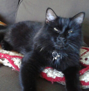 Mylo - Lost Male Cat - Black Longhair