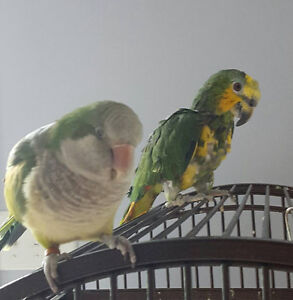 Two parrots, best friends share cage, 2nd cage and feeding stand