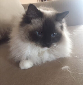 Purebred Ragdoll female cat with 3 legs,  7 years old PPU