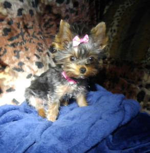 Micro female yorkie 9 months old