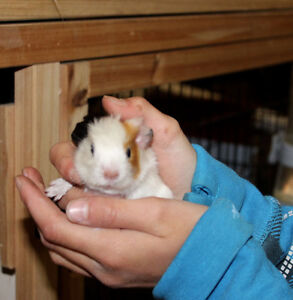 Adorable American Satin Guinea Pigs for sale!