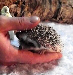 Baby Hedgehogs (and a few adults...starting at $50.00)