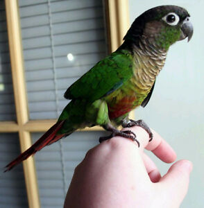❤★ Hand Tamed CONURES With CAGE★❤