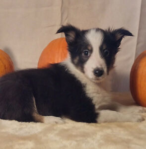 AUSTRALIAN SHEPHERD / SHELTIE PUPPIES !!!   ONLY 3 LEFT!!