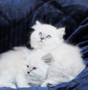 White/Grey Persian Kittens with Blue Eyes