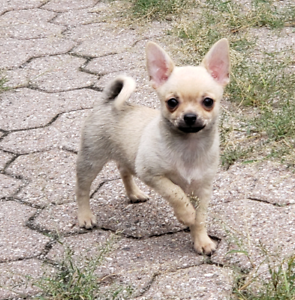 Tiny chihuahua boy from champion lines