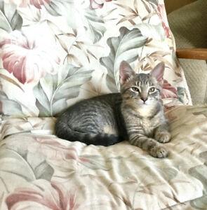 Snuggly Female Kitten -  Bengal  Mix