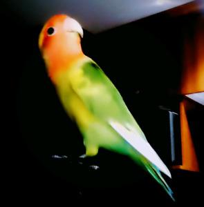 Oiseau inséparable, cage et accessoires