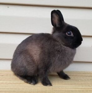 Quality purebred Holland lop and Netherland dwarf bunnies