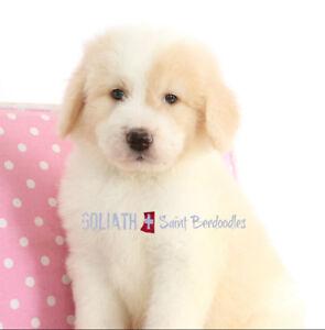 Saint Berdoodle puppies  (Saint Bernard/poodle)