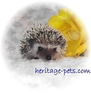 Baby Hedgehogs (assorted colours)