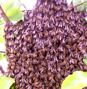 Reward: Bee Swarm