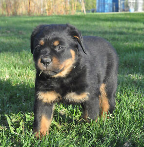 Female CKC Registered Rottweiler Puppy for sale