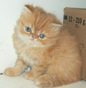 PRETTY LIL REGISTERED PERSIANS Kitchener / Waterloo Kitchener Area image 4