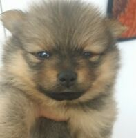 "pomeranian puppies for sale- ""Civic Holiday Booking Deal"""