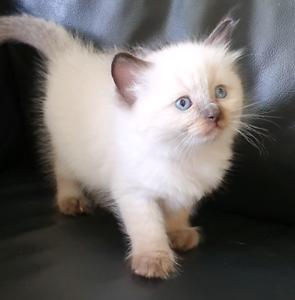 Pedigree Rag doll male kitten