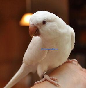 Quaker Femelle Albino