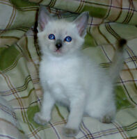Siamese/Balinese Babies for sale