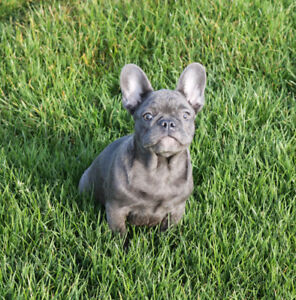 Blue French bulldog boy for sale