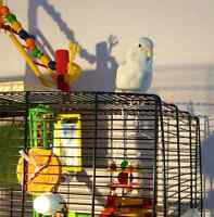 Baby Female Parrolette For Sale