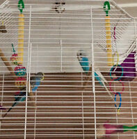 Two female budgies