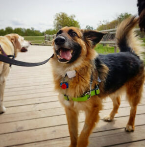 Dog Walking in south Calgary, max 4 dogs per pack!!