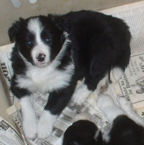 Border Collie Reg CBCA Female B&W pups from champ working lines