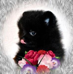 Chiot Poméranien TeaCup Pomeranian Puppy