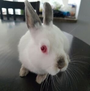 Pet Bunny / Rabbit  For Sale.