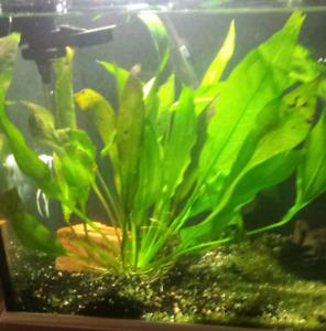 Aquarium Plant ( Very Large )