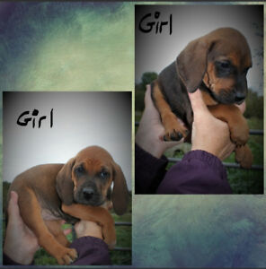 Coonhound puppies **REDUCED PRICE**