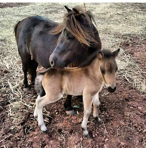 Miniature Horses and Miniature Donkey for sale