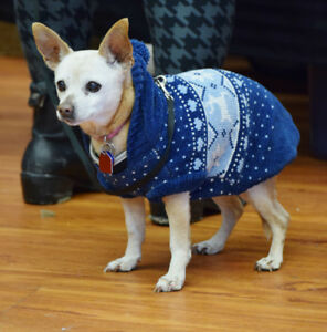 **Gorgeous Cachita - CHIHUAHUA cross is available for adoption**