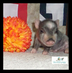 Are You Looking for Mini Pet Pigs?
